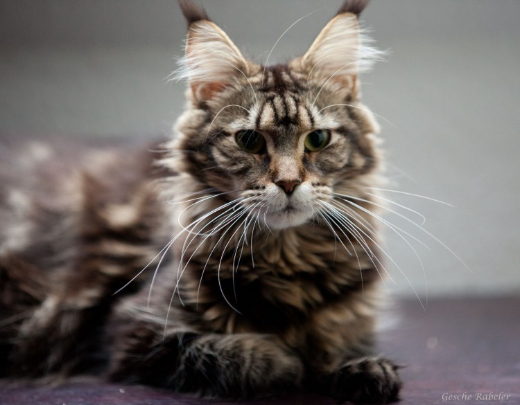 Maine Coon   Relaxing Tigers Isolde  Maine Coon   Re...
