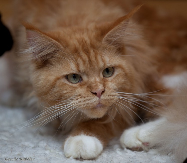 Maine Coon   Relaxing Tigers Tamaris  Maine Coon   Re...