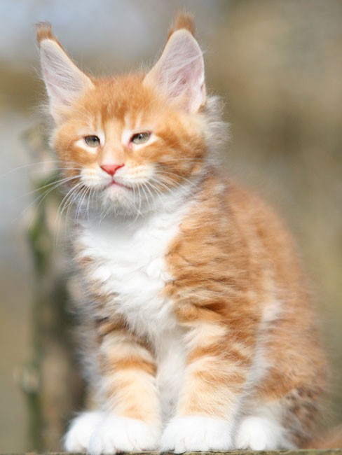 Maine Coon   Relaxing Tigers Yankee  Maine Coon   Re...