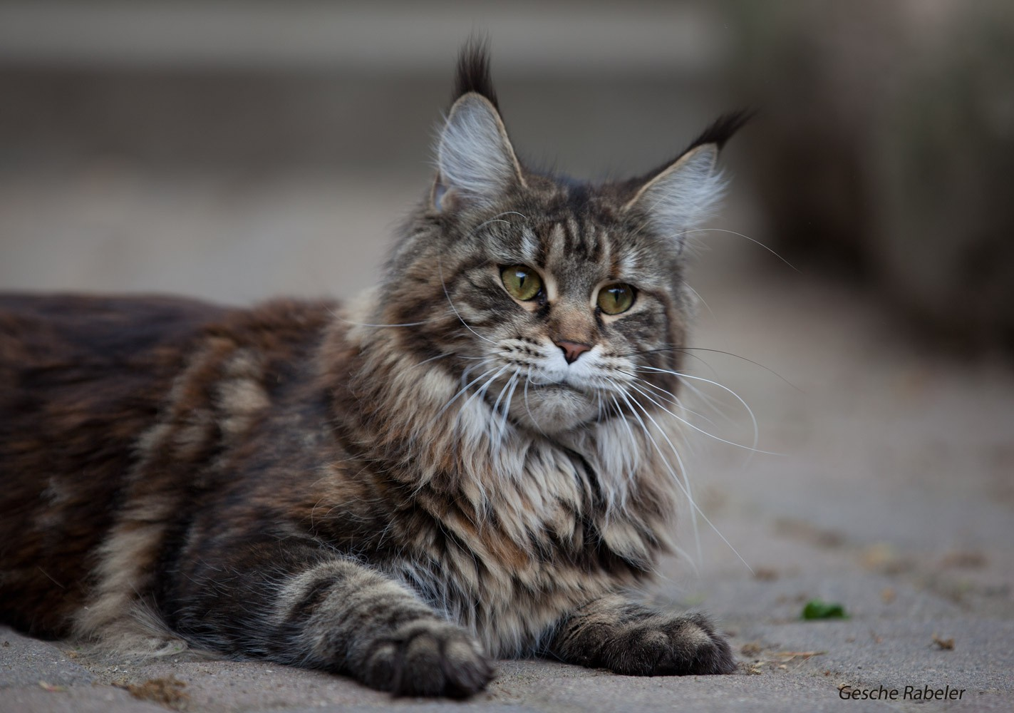 Maine Coon   Relaxing Tigers Hi Baby  Maine Coon   Re...